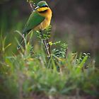 Little Bee-Eater by Jill Fisher