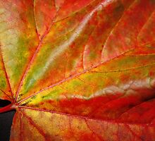 Sycamore Leaf by AnnDixon