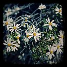 Goldfields Daisy by Melissa Drummond