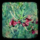 Bead Hopbush by Melissa Drummond
