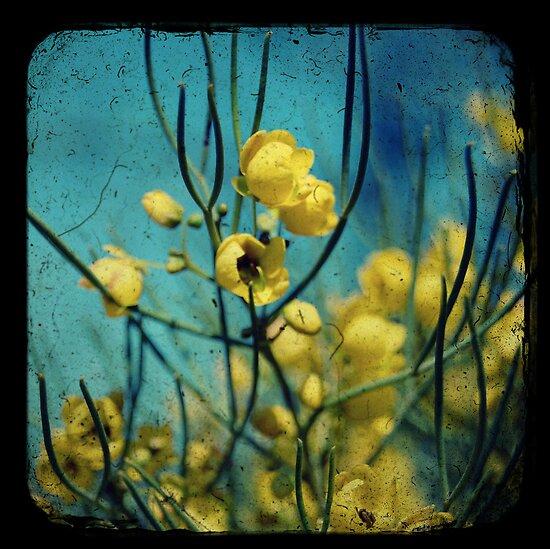 Desert Cassia by Melissa Drummond