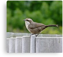 White - Browed Babbler Canvas Print