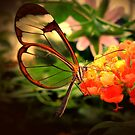 Glasswing butterfly by Joyce Knorz