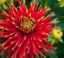 Canada. Vancouver Island. Butchart Gardens. Flower. by vadim19
