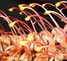 Orange Grevillia Macro by PollyBrown