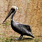 Peruvian Pelican by DionNelson