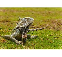 Caribbean Island Iguana Photographic Print