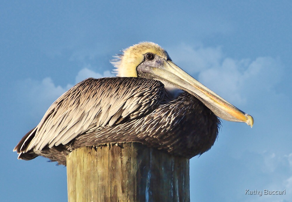 Young Male Brown Pelican by Kathy Baccari