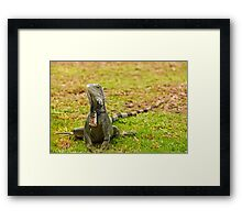 Iguana on Saint Marten Island Framed Print