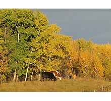 Autumn Cows Photographic Print