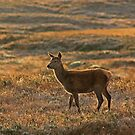 Red Deer 2 by beavo