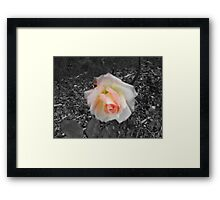 A Soft Rose Framed Print
