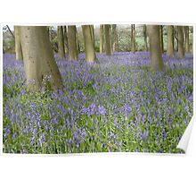 Bluebells, Micheldever Forest Poster