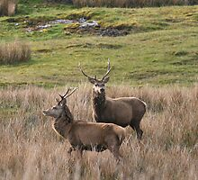 Stags Isle of Mull by albyw