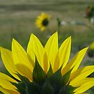 MONTANA SUNFLOWER ON THE HALFSHELL by May Lattanzio