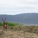 The Watcher - Waterbuck  by Rhys Herbert