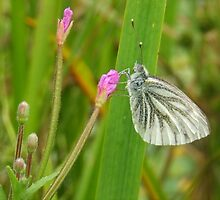 Green-Veined White Butterfly (Pieris napi) by Michaela1991