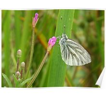 Green-Veined White Butterfly (Pieris napi) Poster