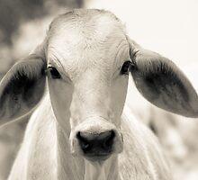 Brahman Calf by Anthea Bennett