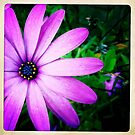 Another Purple Daisy by Marita