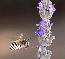 Psilodera fasciata by Rina Greeff