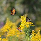 ON Golden Rod by NewfieKeith