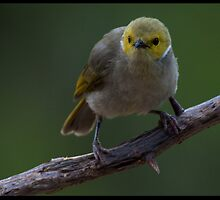 White Plumed Honeyeater!  by Anna Ryan