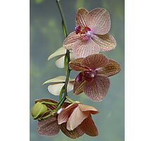 Blooming Orchids and Buds Photographic Print