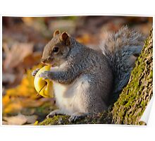 Chubby Grey Squirrel Poster
