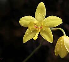 Wet Yellow Orchids by Sabrina Ryan