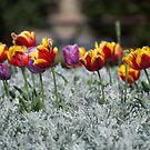 Tiptoe through the tulips by Anthea Bennett