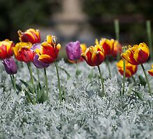 Tiptoe through the tulips by Anthea Bennett
