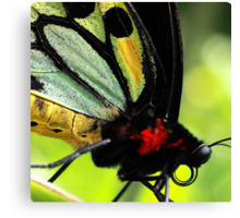 Cairns Birdwing Detail Canvas Print