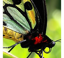 Cairns Birdwing Detail Photographic Print
