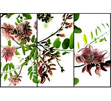 Robinia - Triptych Photographic Print
