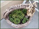 Basket Of Hens And Chicks by Sandra Foster