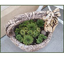 Basket Of Hens And Chicks Photographic Print