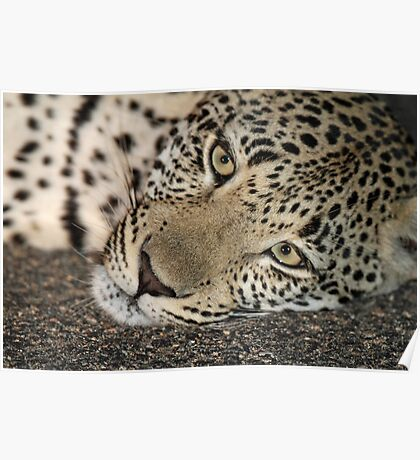 A cosy young leopard(It`s nice and cool on the tar!) Poster