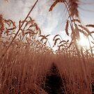 Wheat Tunnel by Anthea Bennett