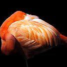 Shy Flamingo by Robin Black