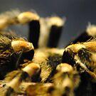 Tarantula by Robin Black