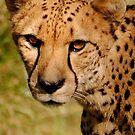 Cheetah by Robin Black