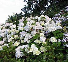 Hydrangeas Galore! by BlueMoonRose