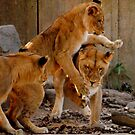 Playful Cubs by Robin Black