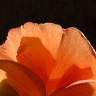 Petals of Peach by AngieDavies