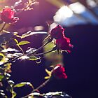 Miniature Red Roses by sandralee1989