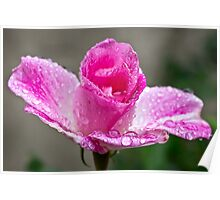 Pink rose in the rain Poster