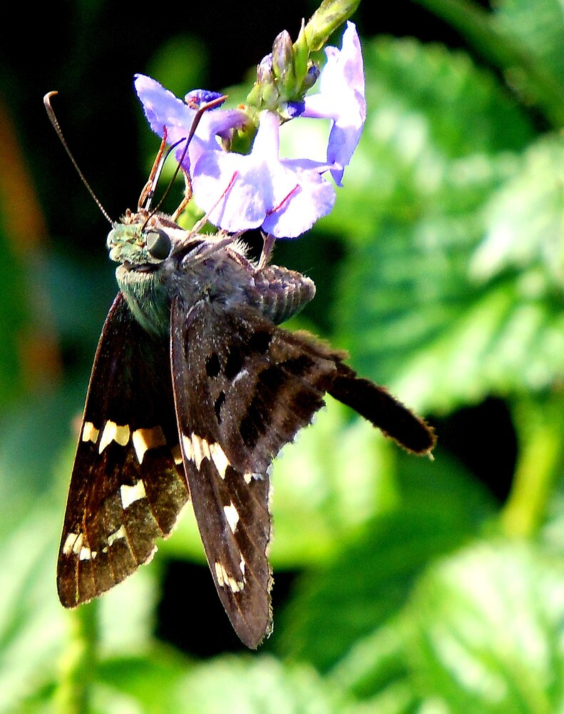 Longtailed Skipper by Huckleberry20