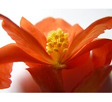 """""""Absent Petal""""  Flower of a Begonia Photographic Print"""