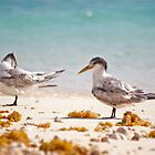 Pair of Crested Terns - Heron Island - Australia by Anthony Wilson